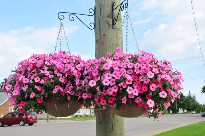 Municipal Hanging Flower Baskets : Baldur flower comitee pathway hanging baskets equinox
